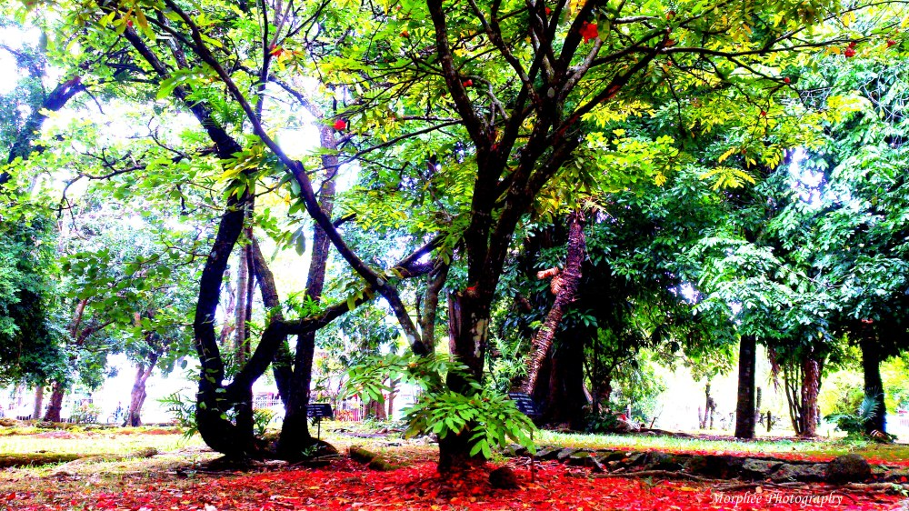 Red Tree at Botanical Garden